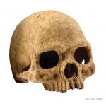 PT2855_Primate_Skull