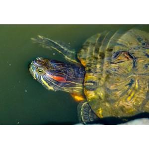 Vízi teknősöknek