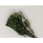 Salignum ág zöld